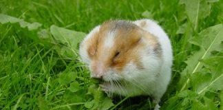 hamster cuidados